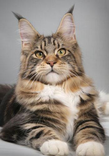 Я очень хочу себе завести кошку породы Мейкун.вот они красавцы.