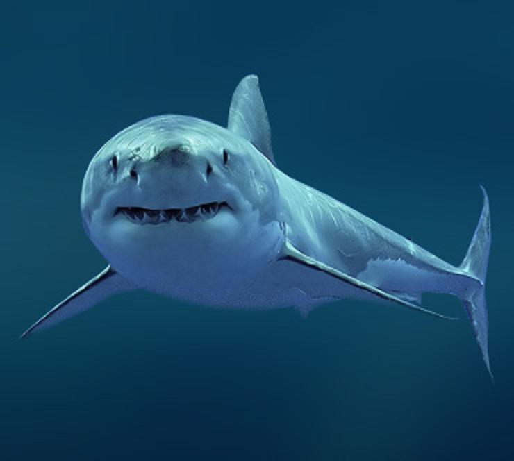 В Приморье снова появились акулы Up3689-bolshaja_belaja_akula_1
